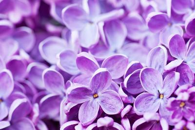 Lilac Flowers Background-Roxana_ro-Photographic Print