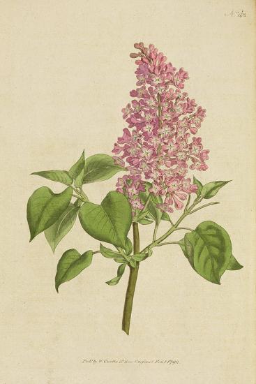 Lilac: Syringa Vulgaris, from William Curtis' Botanical Magazine, 1792--Giclee Print