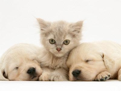 https://imgc.artprintimages.com/img/print/lilac-tortoiseshell-kitten-between-two-sleeping-golden-retriever-puppies_u-l-q10o3zo0.jpg?p=0