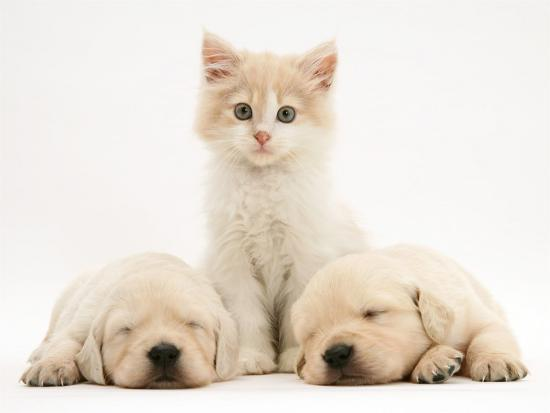 Lilac Tortoiseshell Kitten Between Two Sleeping Golden Retriever Puppies'  Photographic Print - Jane Burton   Art.com