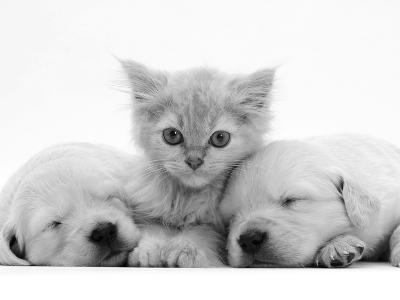 Lilac Tortoiseshell Kitten Between Two Sleeping Golden Retriever Puppies-Jane Burton-Photographic Print