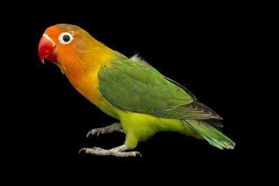 Lilian's or Nyasa Lovebird, Agapornis Lilianae, from a Private Collection-Joel Sartore-Photographic Print