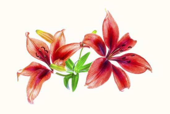Lilies against white background-Panoramic Images-Photographic Print