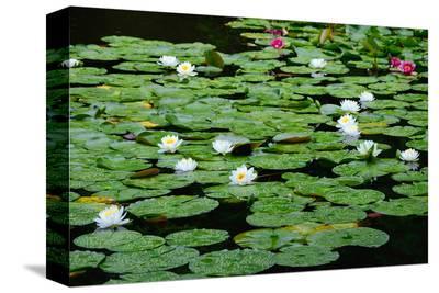 Lilies Heian Jingu ShrineKyoto--Stretched Canvas Print