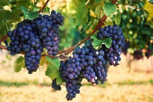 Purple Red Grapes with Green Leaves on the Vine by LiliGraphie