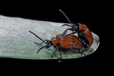Lilioceris Lilii (Scarlet Lily Beetle, Lily Leaf Beetle) - Mating-Paul Starosta-Photographic Print