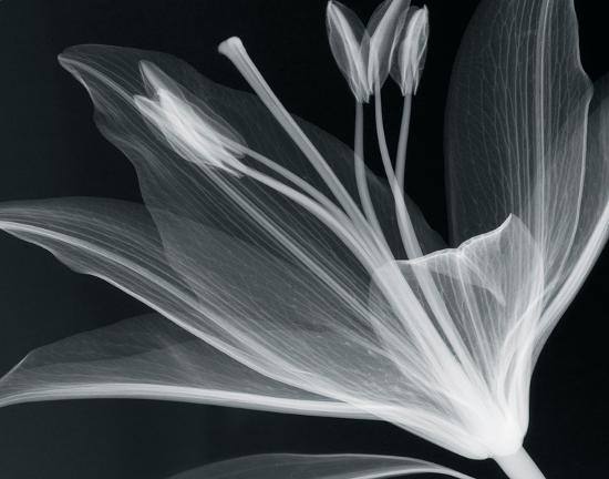 Lilium Glow-Hugh Turvey-Giclee Print