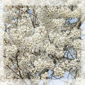Cherry Blossoms 7 by Lillis Werder