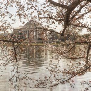Cherry Blossoms 8 by Lillis Werder