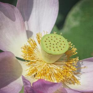Lotus Lily 1 by Lillis Werder