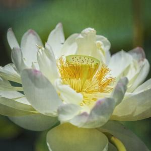 Lotus Lily 2 by Lillis Werder