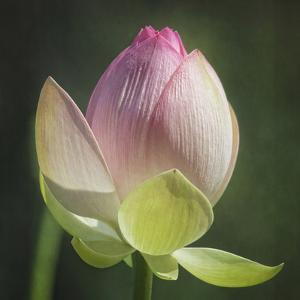 Lotus Lily 4 by Lillis Werder