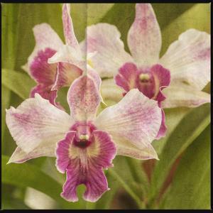 Pink Orchid Trio by Lillis Werder