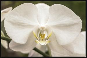 White Orchid by Lillis Werder