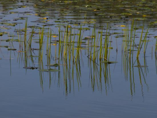 Lilly Pads Float on a River in Wisconsin-Stacy Gold-Photographic Print
