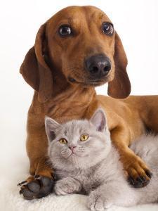 British Kitten  and Dog Dachshund by Lilun