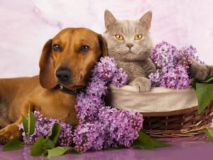British Kitten Rare Color (Lilac) And Puppy Red Dachshund, Cat And Dog by Lilun
