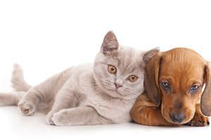 British Kitten Rare Color (Lilac) and Puppy Red Dachshund by Lilun