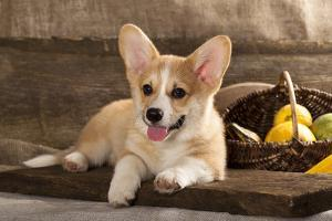 Cardigan Welsh Corgi Dog Breed by Lilun