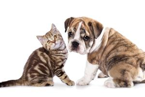 Cat and Dog, British Kitten and English Bulldog Puppy by Lilun