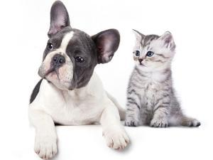 Cat and Dog, British Kitten and  French Bulldog Puppy by Lilun