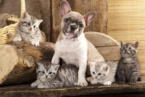Cat And Dog, British Kittens And French Bulldog Puppy In Retro Background by Lilun