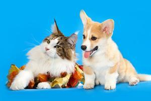 Cat and Dog, Cat Maine Coon and Corgi Puppy by Lilun