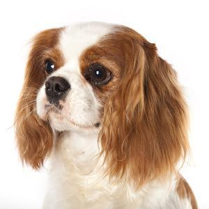 Cavalier King Charles Spaniel Dog by Lilun