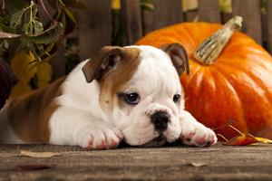 English Bulldog and a Pumpkin by Lilun