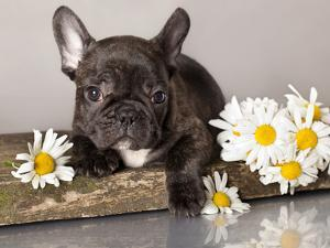 French Bulldog and Chamomile by Lilun