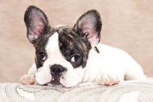 French Bulldog Puppy , 3 Months by Lilun
