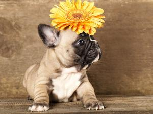 French Bulldog Puppy by Lilun