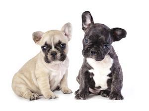 French Bulldogs, Puppy by Lilun