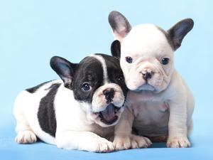 French Bulldogs Puppy by Lilun