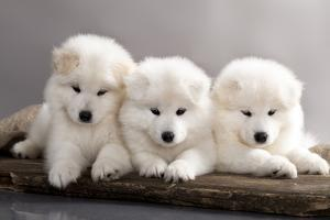 Funny Puppies Of Samoyed Dog (Or Bjelkier) by Lilun