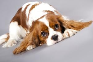 Litter Of Cavalier King Charles Spaniel by Lilun