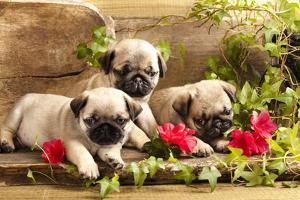 Pug Puppies And Flowers In Retro Backgraun by Lilun