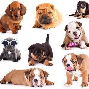 Puppies of Different Breeds, Dachshund, Shar Pei, Rottweiler, Bulldog, French Bulldog. by Lilun