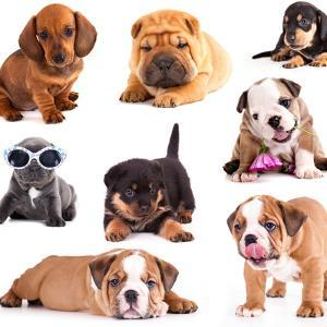 Puppies of Different Breeds, Dachshund, Shar Pei, Rottweiler, Bulldog, French Bulldog. by Lilun