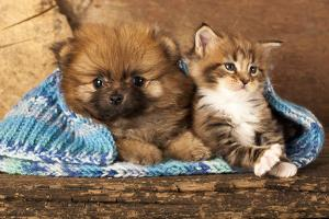 Spitz Puppy And Kitten Breeds Maine Coon, Cat And Dog by Lilun