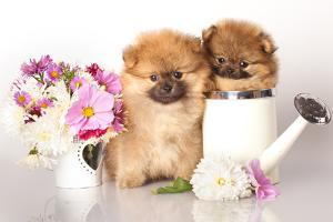 Two German (Pomeranian) Spitz Puppies And Flowers On White Background by Lilun