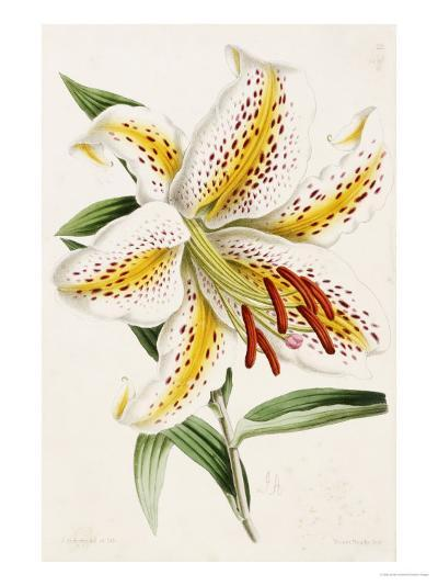 """Lily, from """"The Floral Magazine""""-James Andrews-Giclee Print"""