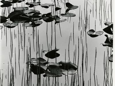 https://imgc.artprintimages.com/img/print/lily-leaves-and-reeds-alaska-1977_u-l-q1g6lkn0.jpg?p=0