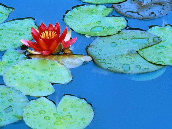 Lily Pads and Flower Blossom-Cindy Kassab-Photographic Print