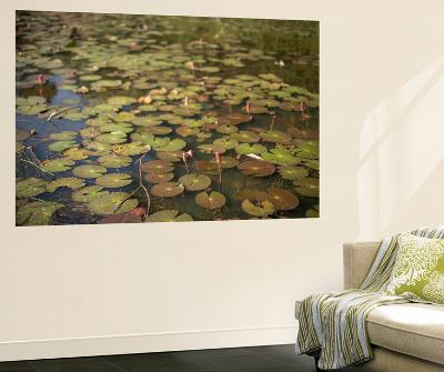 Lily Pads Growing on the Surface of a Pond-Kelley Miller-Wall Mural