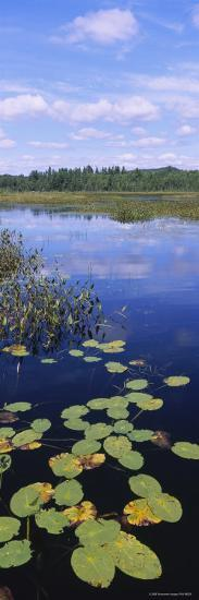 Lily Pads in a Marsh, Adirondack State Park, Adirondack Mountains, New York, USA--Photographic Print