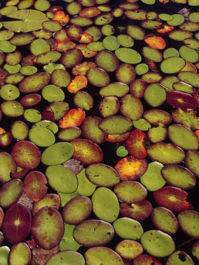 Lily Pads, Okavango Delta, Botswana-Frans Lanting-Photographic Print