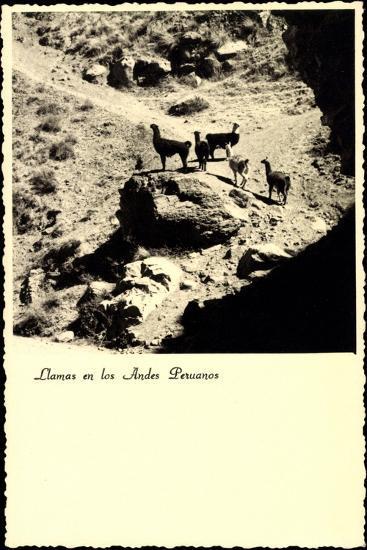 Lima Peru, Llamas an Los Andes Peruanos, Lamas, Anden--Giclee Print