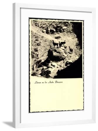 Lima Peru, Llamas an Los Andes Peruanos, Lamas, Anden--Framed Giclee Print