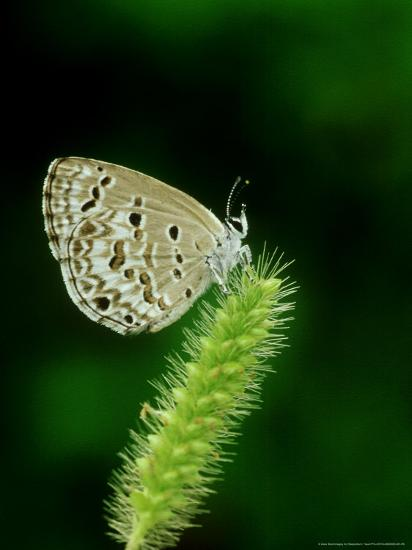 Lime Blue, Bandhavgarh National Park, India-Satyendra K^ Tiwari-Photographic Print